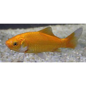 Guldfisk röda/gula/svarta